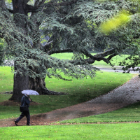 Atlas cedar on a rainy day