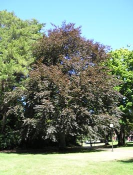 21. Copper beech