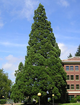14. Giant sequoia