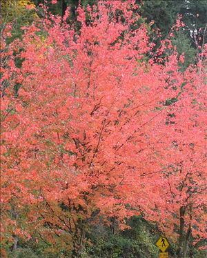 18. Red maple