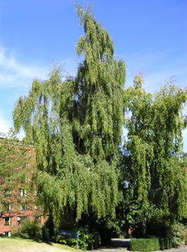 Weeping Birch Wwu Tree Tour