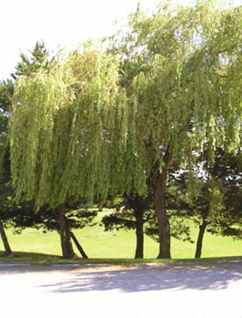 6. Weeping willow